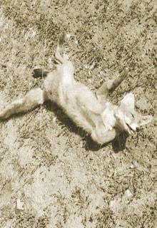 погибшая лиса