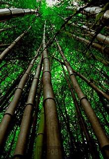 лощина Черного бамбука