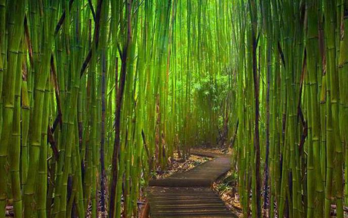 тропа в бамбуке